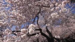 Washington's Famous Cherry Trees Blossom