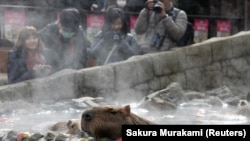 Visitors take photos of capybaras sitting inside a hot tub at Izu Shaboten Zoo in Ito, Japan February 1, 2020. Picture taken February 1, 2020.