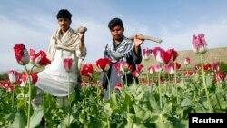 Diện tích trồng thuốc phiện của Afghanistan năm nay là 209.000 hecta, tăng cao hơn đỉnh điểm 193.000 hecta vào năm 2007.