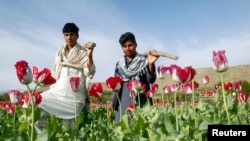 FILE - Afghan farmers walk in a poppy field in Jalalabad province, Afghanistan, April 7, 2013.