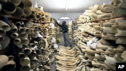 FILE - A Zimbabwe National Parks official inspects the country's ivory stockpile at parks headquarters in Harare, June 2, 2016. Ugandan authorities on Jan. 31, 2019, announced the confiscation of about 750 pieces of ivory plus pangolin scales brought in from South Sudan.