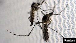Virus Zika tersebar terutama melalui gigitan nyamuk Aedes aegypti (foto: ilustrasi).