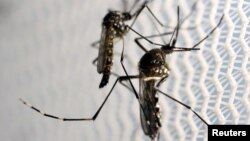Virus Zika dibawa oleh nyamuk demam berdarah Aedes aegypti (foto: ilustrasi).