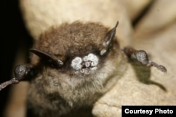 The little brown bat, once one of the most common bats of North America, suffered a major population collapse in the northeastern U.S. due to White Nose Syndrome.(Photo courtesy of Organization for Bat Conservation)