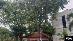 Pohon Jamblang atau Juwet di halaman Universitas Surabaya (foto Petrus Riski/VOA).
