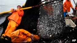 FILE - Fishermen work to unload a net full of anchovies during a fishing expedition in the Pacific Ocean, off the coast of El Callao, Peru, Nov. 22, 2012.