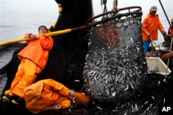 FILE - Fishermen pull in a net full of anchovies from the Pacific Ocean, Nov. 22, 2012. Forty new or expanded marine protected areas were created at the Our Ocean summit. Such a designation means commercial fishing, oil exploration and other activities are limited.