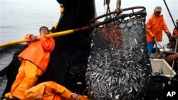FILE - Fishermen pull in a net full of anchovies from the Pacific Ocean. The United States and 12 other countries are looking at ways to ensure the long-term sustainability of global fisheries.