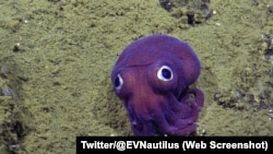 A big-eyed, stubby, purple squid was captured on camera buy a vehicle exploring the ocean floor near California.