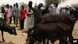 Des nomades regardent des vaches se nourrir à Dakoro, Niger.