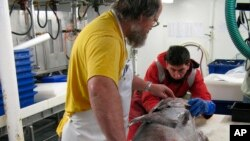 FILE - In this undated photo supplied by the National Institute of Water and Atmospheric Research, Brent Wood (l) and Stefano Schiaparelli (r) examine an Antarctic toothfish in Tangaroa's wet lab in Antarctic waters.