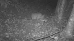 Македонија: Регистрирана нова единка од загрозениот животински вид балкански рис