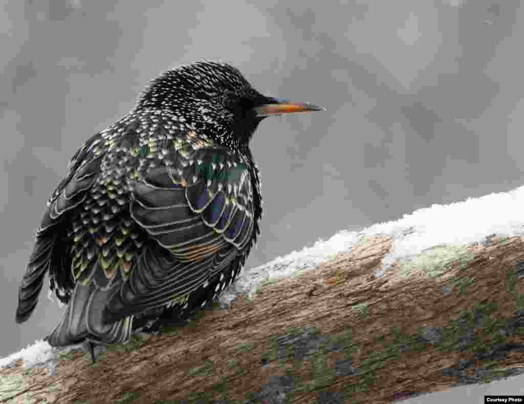 European Starling in Tollington, Connecticut, 2015. (Courtesy of Enola Wagner)