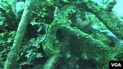 Terumbu karang kini semakin terancam akibat ulah manusia, sehingga mengancam keseimbangan kehidupan jutaan species di laut.