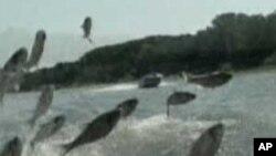 Leteći šaran - problem u Illinoisu