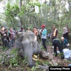 Gajah Sumatera bernama Dita saat mendapatkan perawatan medis dari BBKSDA Riau beberapa waktu lalu. (Courtesy: BBKSDA Riau)