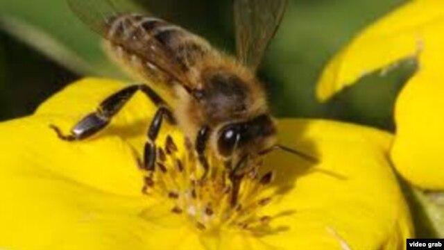 Ong mật dùng mùi để xác định vị trí, tìm ra các loại và nhận biết những loại hoa đem lại thức ăn cho chúng