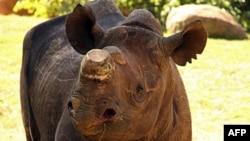 Phila, chú tê giác đen 5 tuổi, được đưa vào vườn bách thú ở Nam Phi, nơi nó được an toàn và tránh xa những kẻ săn trộm
