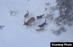 Wolves chase an elk in Yellowstone National Park. (Credit: NPS)