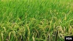 Muchos países están anticipando que tendrán fuertes cosechas, lo cual podría evitar que aumente el precio de los granos.