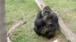 加州动物园大猩猩喜得幼子