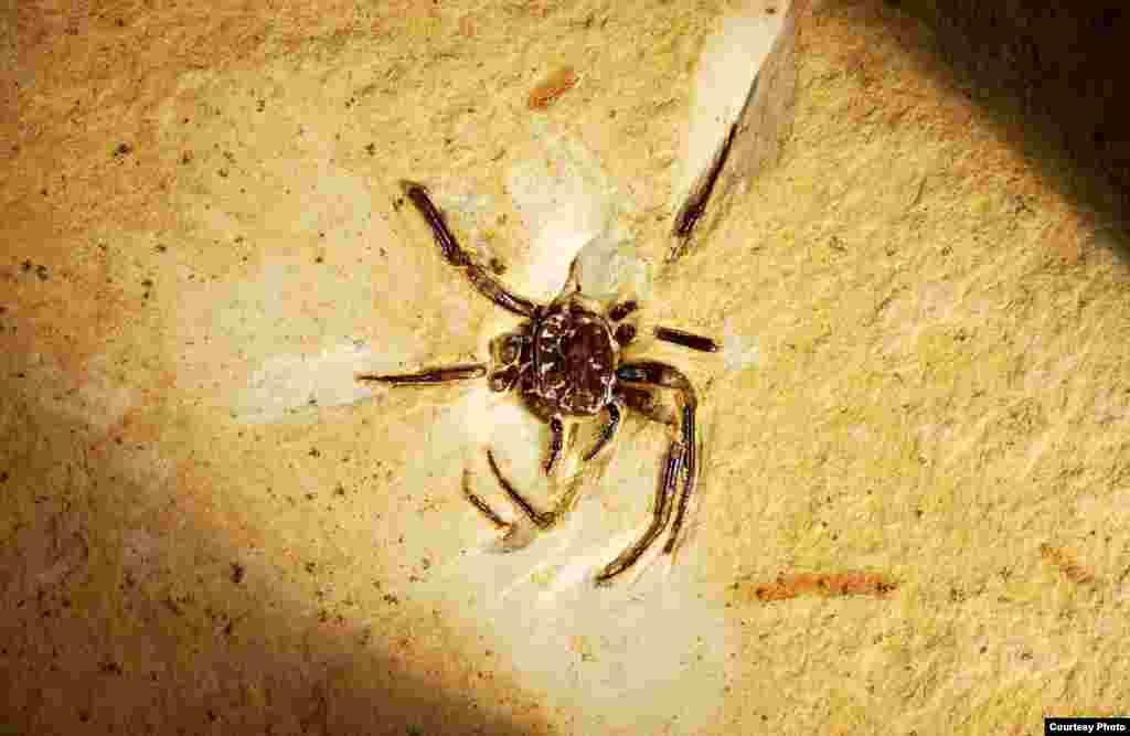 100 milyon yıllık örümcek fosili. (© AMNH\D. Grimaldi)