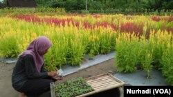 Kebun bunga yang dibuat khusus untuk keperluan selfie di kawasan Samas, Yogyakarta. (Foto: VOA/Nurhadi)