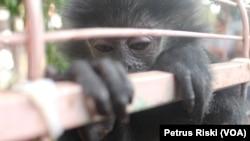Satwa jenis primata menjadi salah satu satwa pembawa virus dan patogen lainnya sehingga manusia jangan lagi berburu sata liar di alam (Foto: VOA/ Petrus Riski).