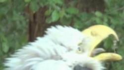 Águila calva liberada