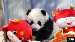 A panda cub plays with festive decorations in its enclosure at the Shenshuping breeding base of Wolong National Nature Reserve in Wenchuan, in China's southwestern Sichuan province on February 3, 2021, ahead of the Lunar New Year of the Ox which falls on