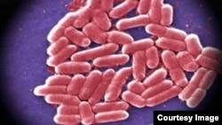 Contoh bakteri yang bisa diobati dengan antibiotik.