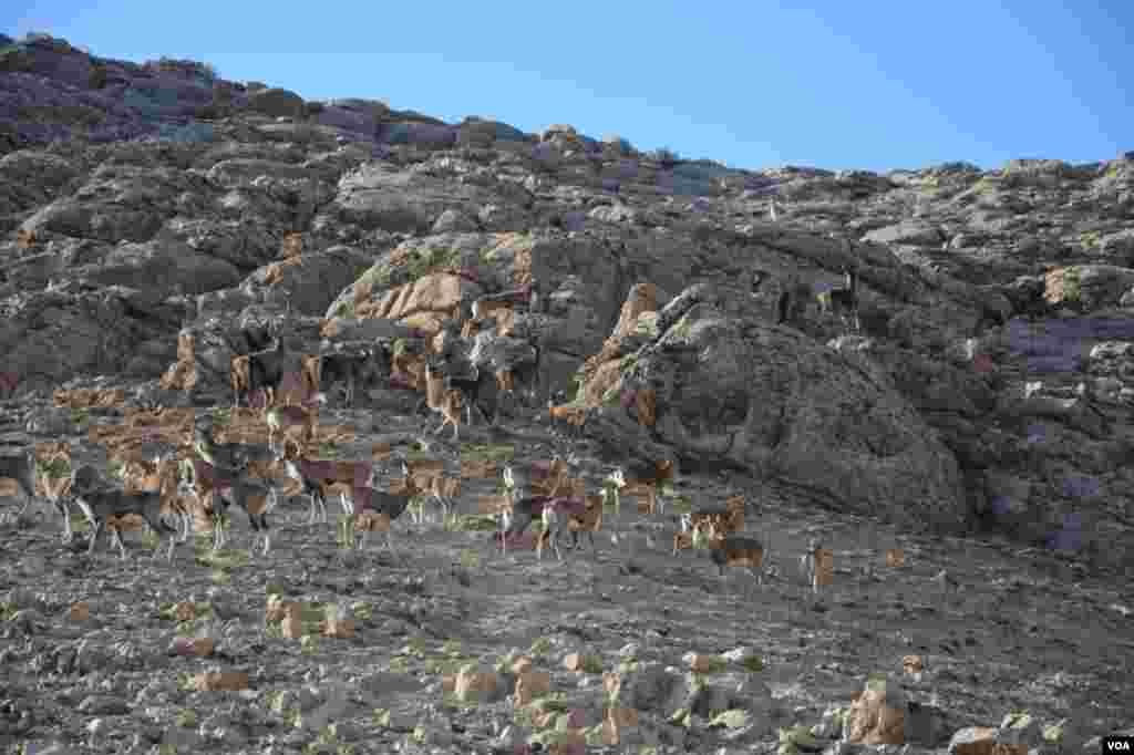 آهوها در پارک پردیسان بجنورد عکس: یونس مرادی(ارسالی شما)
