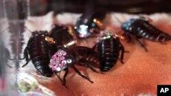 Kecoak Madagascar yang dihiasi kristal Swarovski, dijual sebagai perhiasan seharga $80 di peragaan busana Jared Gold's Czarina Spring 2008 di Los Angeles, 14 Maret 2008. (Foto: AP)