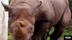 Cula badak beberapa kali menjadi sasaran pencurian dalam pameran di Inggris (foto: ilustrasi).