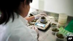 آرشیو – مرکز کشت ماریجوانای طبی «تیکون اولام» در نزدیکی شهر اسرائیلی «صفد»