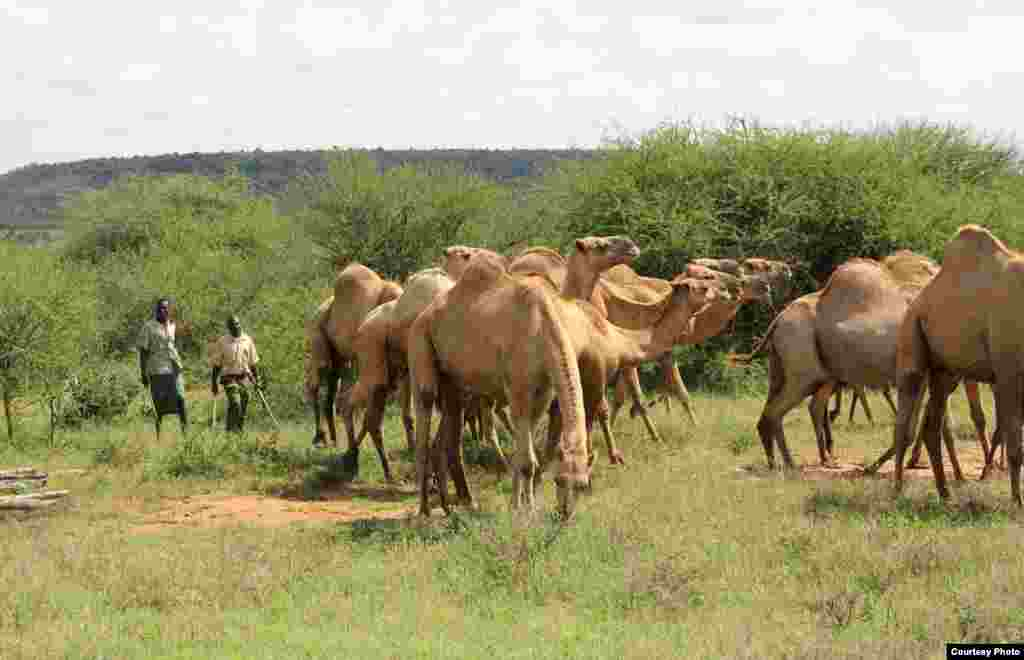 Dromedaries are herded to a weighing station at the Mpala Research Centre. (Sharon Deem, Saint Louis Zoo)