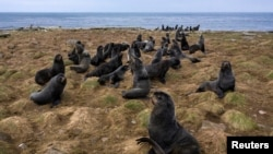 Fur seals rest along the northern shore in St. George, Alaska, U.S., May 22, 2021. Hundreds of thousands of fur seals spend their summer on St. George each year. Picture taken on drone May 22, 2021. REUTERS/Nathan Howard