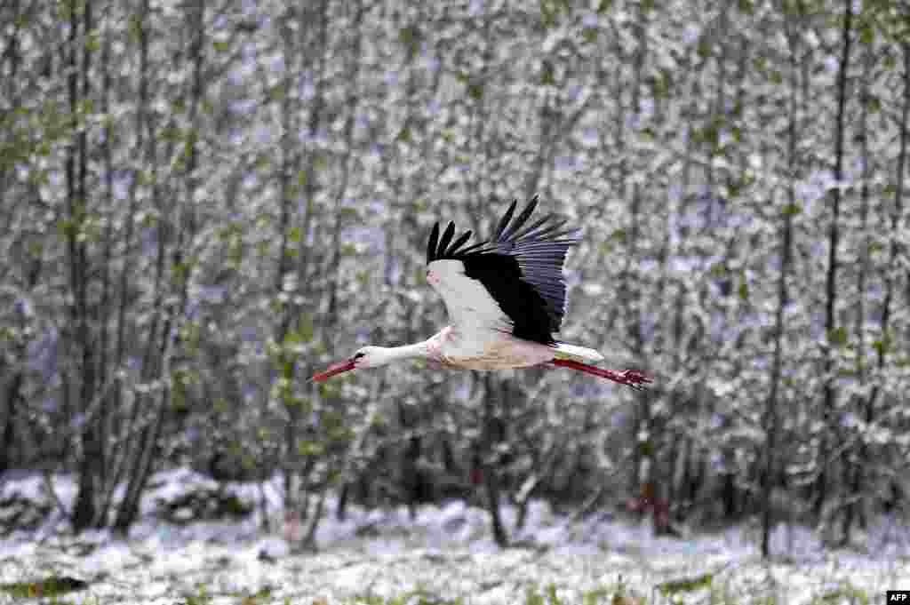 A stork flies past snowy bushes in the village of Kreva, about 100 km northwest of Minsk, Belarus.