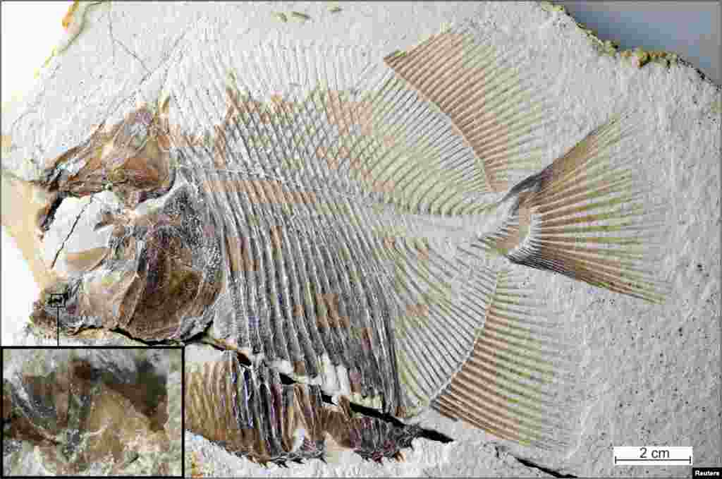 A new piranha-like fish fossil from Jurassic seas with sharp, pointed teeth that probably fed on the fins of other fishes, discovered in southern Germany from the time of dinosaurs and the same deposits that contained Archaeopteryx, is seen in this image released from Eichstaett, Bavaria, Germany.