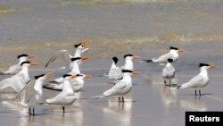 Burung-burung di Pulau West Ship di Gulfport, Mississippi.