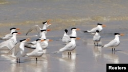 In this May 2010 file photo, sea birds rest on the shore of West Ship Island off the coast of Gulfport, Mississippi.