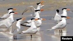Aves de playa de pico largo inspiran dispositivo para recolectar agua de la niebla y el rocío.