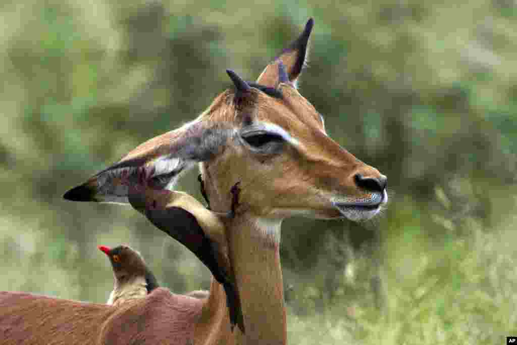 An oxpecker bird picks the ear of an impala in Kruger National Park, South Africa. Oxpeckers feed on insects and ticks on giraffes, impalas and other wild animals.