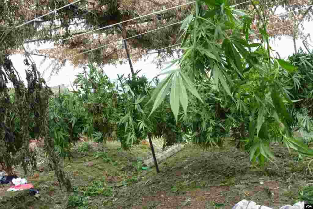 Ilegal Marijuana in Southern Albania
