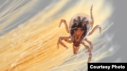 Ixodes scapularis, commonly known as the deer tick, transmits Lyme disease, the most common U.S. tick-borne illness. (Courtesy Purdue University)