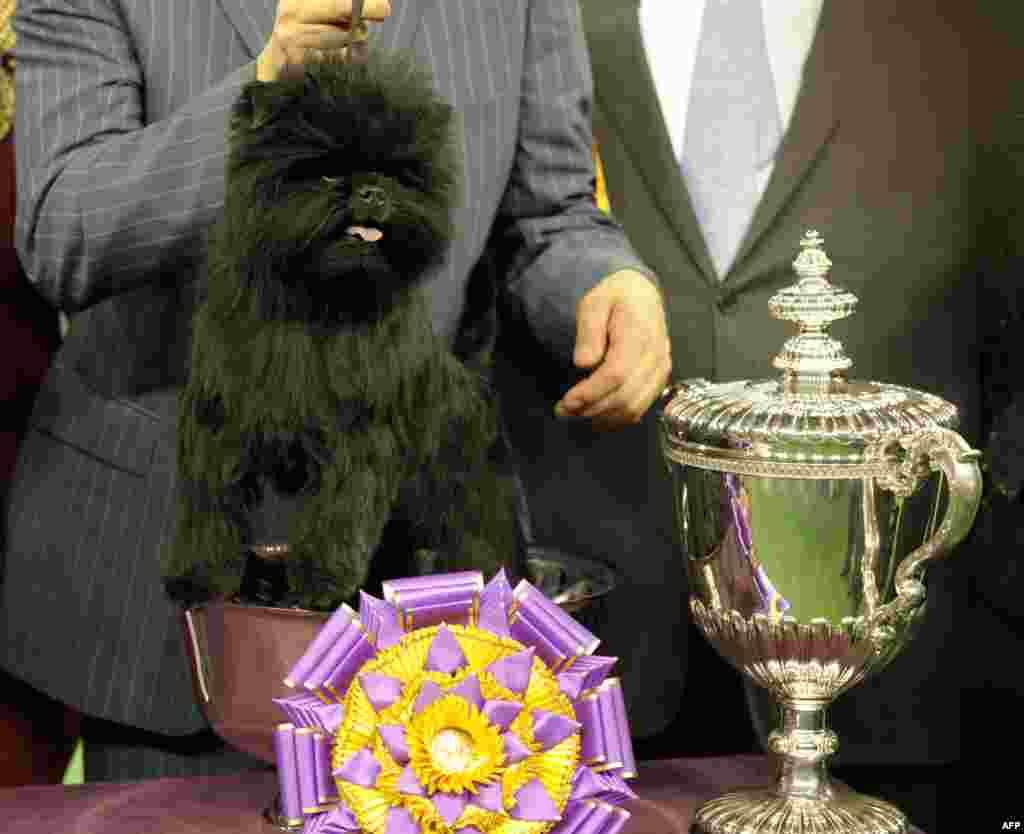 Banana Joe, un perro de la raza Affenpinscher, fue el ganador del concurso Westminster Kennel Club Dog Show en el Madison Square Garden de Nueva York.