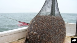 Jellyball fishing - catching jellyfish - is Georgia's third largest commercial fishery - after shrimp and crabs.
