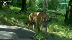 Тигр из Нью-Йоркского зоопарка заразился от смотрителя