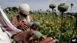 FILE - Afghan farmers collect raw opium as they work in a poppy field in Khogyani district of Jalalabad east of Kabul, Afghanistan, May 10, 2013.