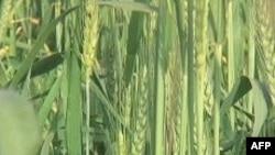 Việt Nam hợp tác với Anh Quốc phát triển giống lúa mới đa dạng